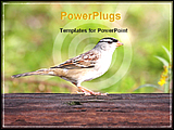 PowerPoint Template - image showing adult white crowned sparrow perched on a branch