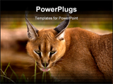 PowerPoint Template - A caracal cat sneaks around in the foliage .