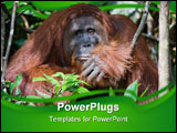 PowerPoint Template - Indonesia.Borneo. Rainforest. Camp Leakey Pongo pygmaeus wurmbii - southwest populations.