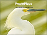 PowerPoint Template - Close-up of a snowy egret with an out of focus background.