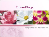 PowerPoint Template - Close up of pink rose and white cosmos plus orchid on pink background