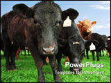 PowerPoint Template - Closeup of beef cow with other cattle in background
