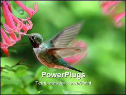 PowerPoint Template - Ruby throated hummingbird and red Fairy Trumpet wild flowers