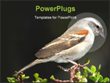 PowerPoint Template - Female of hen Cape sparrow perched on top of a tree