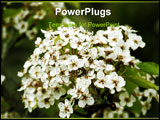 PowerPoint Template - A big bunch of apple blossoms early in spring