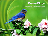 PowerPoint Template - Male Eastern Bluebird (Sialia sialis) on a hibiscus bush