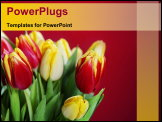PowerPoint Template - bouquet of the fresh red and yellow tulips