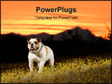 PowerPoint Template - An English Bulldog enjoys an Arizona sunset.