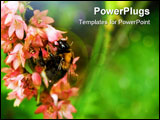 PowerPoint Template - A fat little bumblebee sucking nektar from a flower