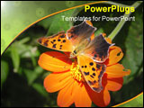 PowerPoint Template - a question mark butterfly sipping nectar from a zinnia flower.