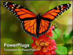 PowerPoint Template - A colourful Monarch butterfly with wings spread collecting pollen from a lantana flower