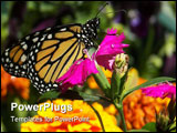 PowerPoint Template - A newborn monarch butterfly resting on a pink marigold flower.
