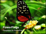 PowerPoint Template - golden helicon (heliconius hecale) at Victoria Butterfly House