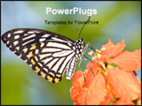 PowerPoint Template - A butterfly stops and stands on orange petals in natural setting wildlife of Singapore