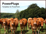 PowerPoint Template - row of inquisitive Limousin cows facing the camera in a pasture with a forest backdrop and blue sky