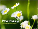 PowerPoint Template - Chamomile in the meadow , a close up shot.