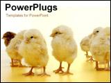 PowerPoint Template - little chicks
