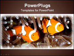 PowerPoint Template - two clown anemone fish swimming in the tentacles of their anemone underwater
