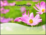 PowerPoint Template - Landscape of Pink Cosmos Garden. Focus on foreground.