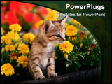 PowerPoint Template - Adorable kitten surrounded by colorful mums peeks out of a barrel flower pot