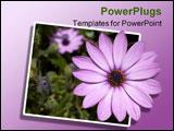 PowerPoint Template - purple osteospermum african daisy .