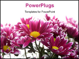 PowerPoint Template - Some pretty pink daisy over a white background.