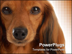 PowerPoint Template - head portrait of long haired dachshund on white background