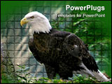PowerPoint Template - American bald eagle standing on a rock