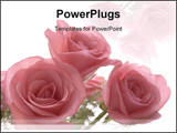 PowerPoint Template - A bouquet of fresh pink roses isolated against a white background.