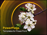 PowerPoint Template - A branch of cherry flowers in spring