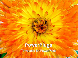 PowerPoint Template - Very close-up shot of an orange and yellow Pot or Scotch Marigold Latin name Calendula.