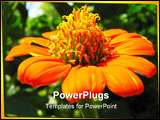 PowerPoint Template - Close-up of a Mexican sunflower (Tithonia rotundifolia)