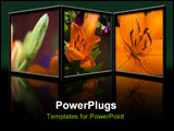 PowerPoint Template - D image of an Asiatic Tiger Lily from bud to full bloom. A reflection of the picture can be seen be