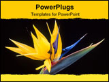 PowerPoint Template - flower of bird of paradise; claimed as native to many countries and regarded