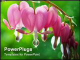 PowerPoint Template - Backlit view of bleeding heart flowers with dew drops