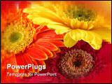 PowerPoint Template - Close up of three colorful gerber daisies in isolated white