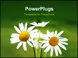 PowerPoint Template - Bouquet of daisy flowers isolated on white background