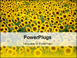 PowerPoint Template - Beautiful sunflower field