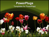 PowerPoint Template - Group of multicolored Tulips in a public Garden.