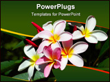 PowerPoint Template - pink and white flowers of a frangipani bush in a garden in south africa