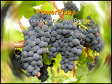 PowerPoint Template - Ripening grape clusters on the vine