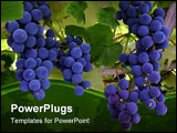 PowerPoint Template - those are blue grapes hanging from a vine.