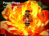 PowerPoint Template - Singalong Patio rose with pollen laden bee