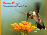 PowerPoint Template - Black-chinned Hummingbird in-flight as it nectars at zinnia flower.