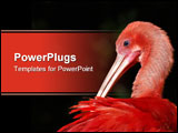 PowerPoint Template - Scarlet ibis preening and cleaning in South Africa