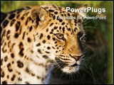 PowerPoint Template - Close up of a Leopard in low sunlight