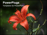 PowerPoint Template - Orange Tiger Lily - soft, should be used at smaller sizes
