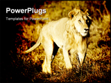 PowerPoint Template - a Lion walking in a field in masai mara