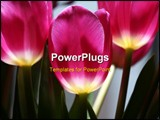 PowerPoint Template - the red luminous tulips in town garden.