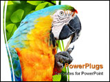PowerPoint Template - Closeup portrait of a blue and yellow Macaw cleaning its beak with a stick.